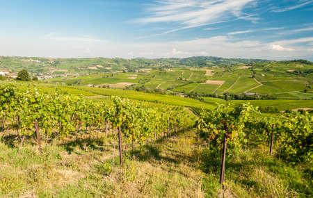 Oltrepo の丘のブドウ園 』 パヴェーゼ、パヴィアの近く