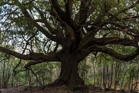 This oak located on volcano Etna, called Ilice di Carrinu, is nearly 700 years old