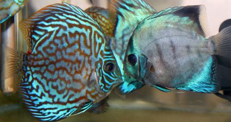 Blue turquoise discus fish photo