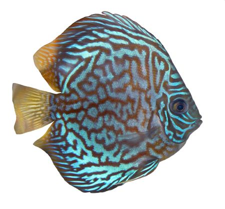 discus fish: Blue turquoise discus isolated over white background
