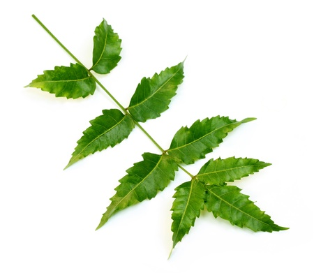 indica: Herbal Neem leaves