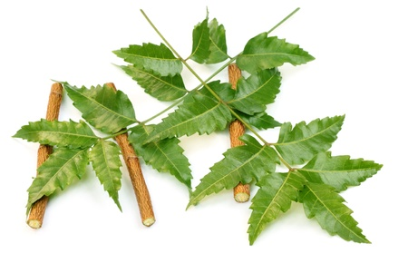neem: Herbal Neem leaves and twigs on white background