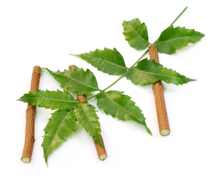neem: Medicinal neem leaves with twigs