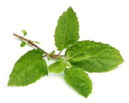 Medicinal holy basil or tulsi leaves photo