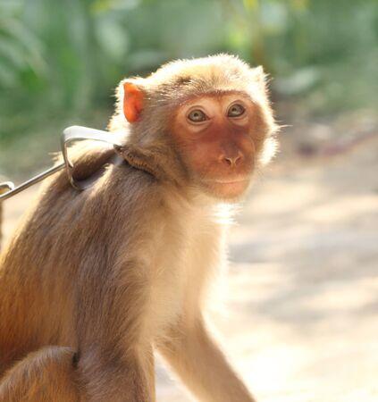 Captive monkey of South East Asia photo