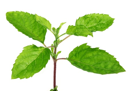 Medicinal tulsi leaves Stock Photo - 8854439
