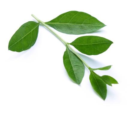 plantas medicinales: Hojas de henna aislada sobre fondo blanco Foto de archivo