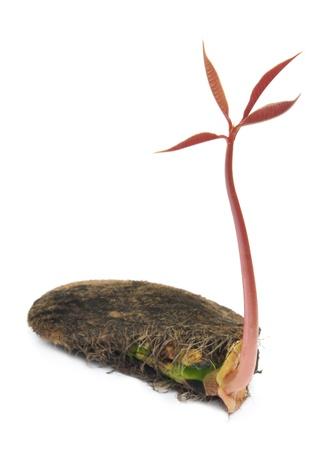 Birth of a mango plant photo