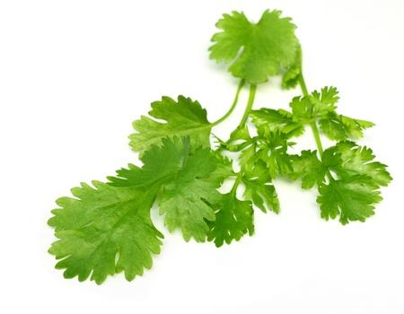 coriandrum sativum: Hojas de cilantro