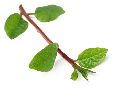 malabar spinach over white background photo