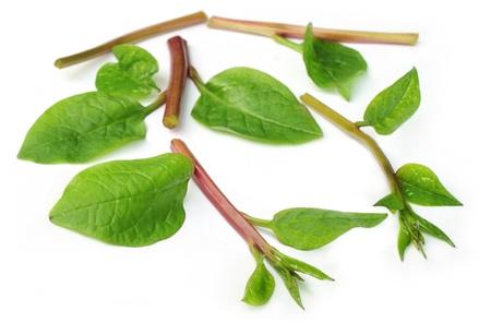 malabar spinach photo
