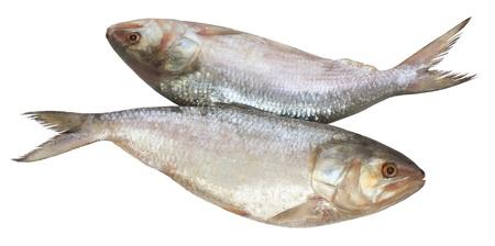 Popular Ilish fish of Southeast Asia Stock Photo - 10746688