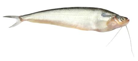 demersal: Fresh water Pabda fish of Southeast Asia Stock Photo
