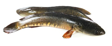 Giant snakehead fish over white background photo