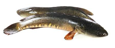 snakehead: Giant snakehead fish over white background