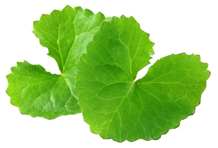 asiatica: Medicinal thankuni leaves of indian subcontinent Stock Photo