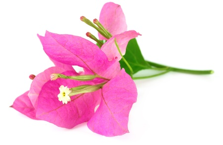 ornamental horticulture: Bougainvillea over white background Stock Photo