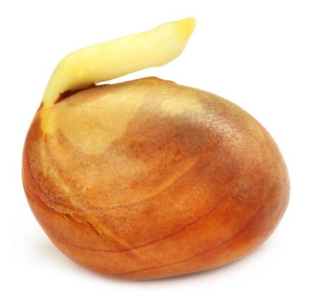 germinating: Germinating jackfruit seed