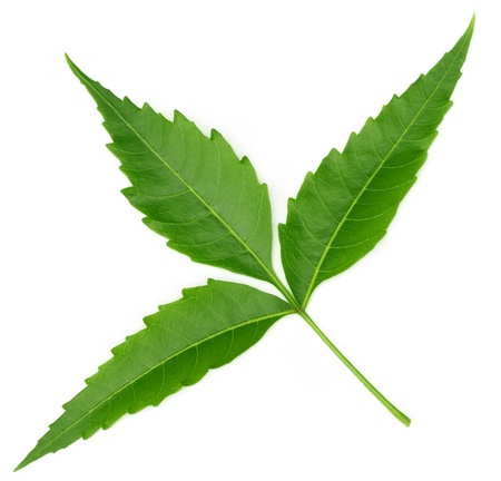 neem: Medicinal neem leaf over white background Stock Photo