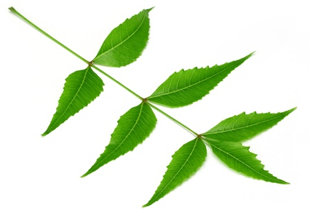 disease control: Herbal neem leaves