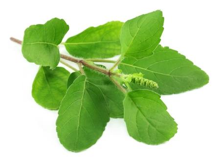 albahaca: Medicinales albahaca santa o Tulsi deja Foto de archivo