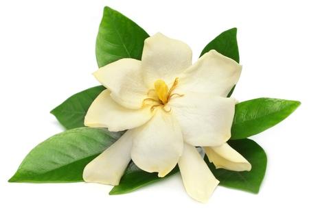 Gardenia or Gondhoraj flower of Southern Asia Stock Photo