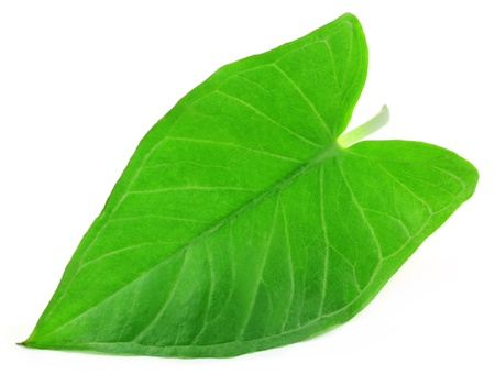 Colocassia or kochu shak of Indian subcontinent Stock Photo - 14706525