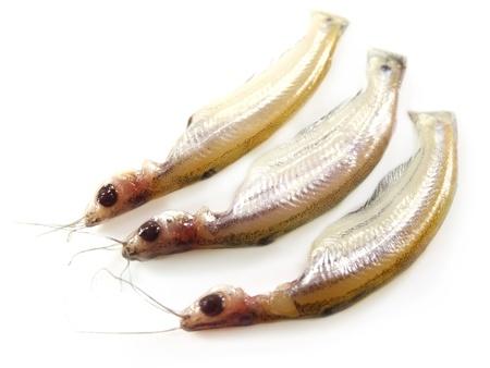 Fresh water Batshi fish of Southeast Asia Stock Photo - 15048382