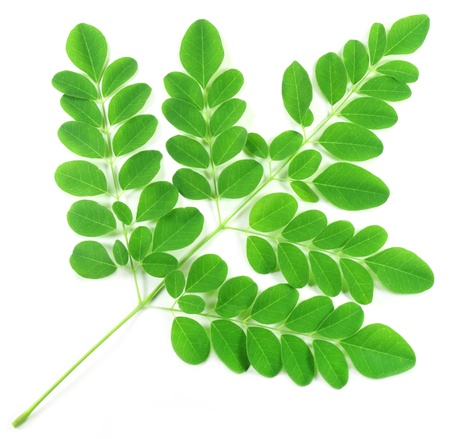 Edible moringa leaves photo
