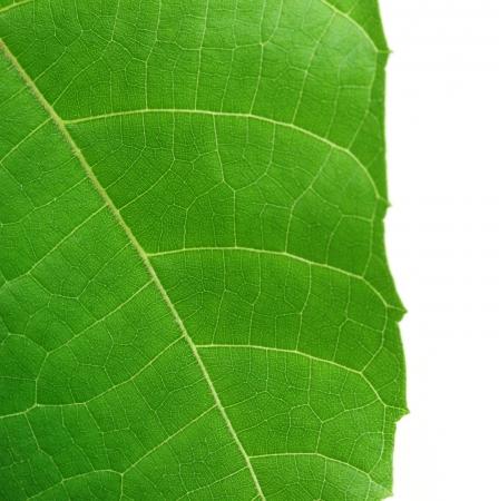 Decorative leaf of Abroma Augusta or medicinal Olatkambal of Bangladesh Stock Photo - 15368201