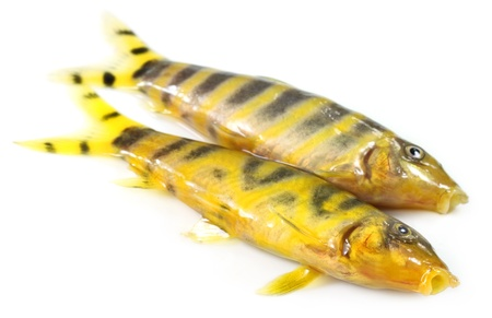 subcontinent: Fresh water zebra fish of Indian subcontinent Stock Photo