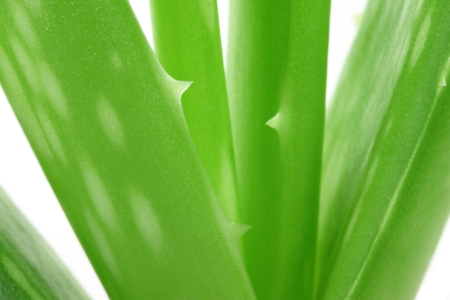 Aloe Plant Stock Photo - 15778013