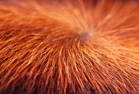 Texture of a hairy cow skin surface photo