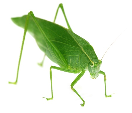 Green grasshopper photo