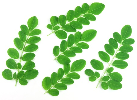 Fresh edible moringa leaves photo