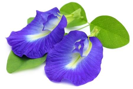 colorant: Clitoria ternatea or Aparajita flowers