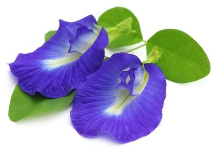 Clitoria ternatea o Aparajita fiori su sfondo bianco