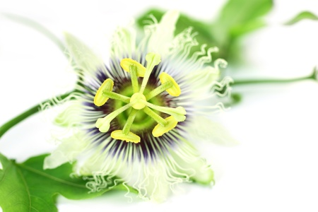 subcontinent: Jhumko Lata or Passion flower of Indian Subcontinent