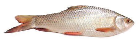 Popular Rohu or Rohit fish of Indian subcontinent Stock Photo - 15777940