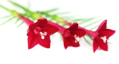 pennata: Quamoclit pennata or Tarulata flower