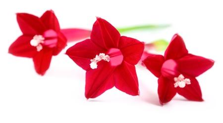 pennata: Quamoclit pennata or Tarulata flower over white background Stock Photo