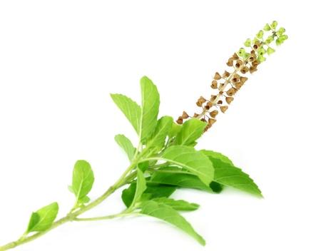 antidote: Medicinale heilige basilicum of Tulsi bladeren en bloemen met selectieve focus