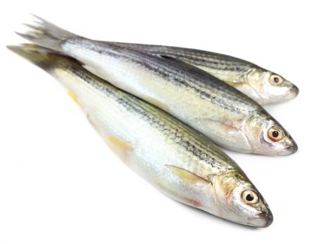 subcontinent: Tatkini fish of Indian subcontinent