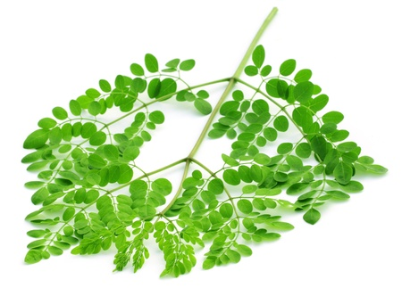 sajna:  Edible moringa leaves over white background