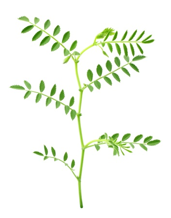 Green chick-pea plant photo