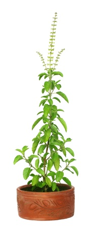 tulasi: Medicinal holy basil or tulsi plant Stock Photo