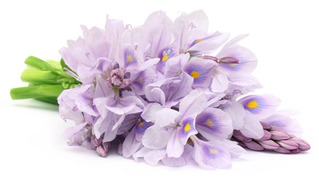 hyacinth: Water Hyacinth flower