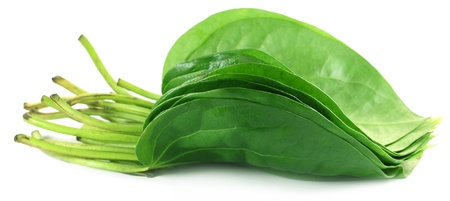 betel leaf: Popular edible betel leaf of Indian subcontinent