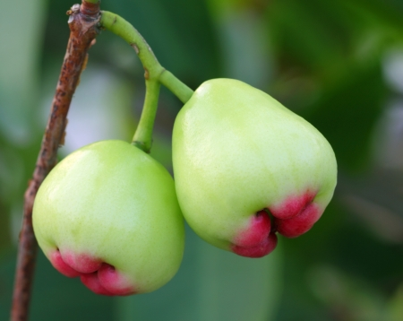 Fresh water apple or rose apple photo