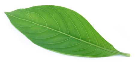 bronchial: Adhatoda vasica or medicinal Basak leaf Stock Photo